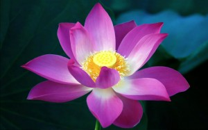 Lotus Flower HD